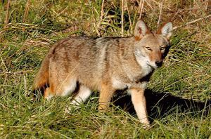 Stock photo of a Pennsylvania Coyote
